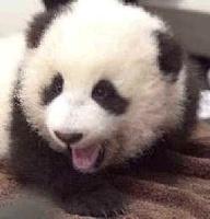 avatar de panda