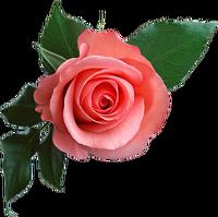 avatar de Reine-Rose